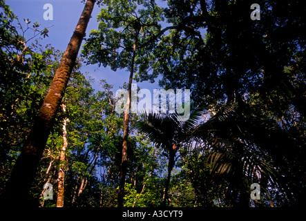 flora, jungle canopy, Puraquequara River, Amazon River Basin, northeast of the city of Manaus, Amazonas State, Brazil, - Stock Photo