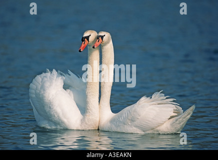 Pair of mute swans (Cygnus olor) in spring, Flachsee, Aargau, Switzerland - Stock Photo
