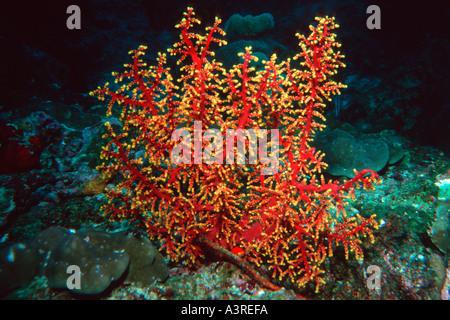 Soft coral Siphonogorgia sp Similan Islands marine sanctuary Thailand Andaman Sea - Stock Photo