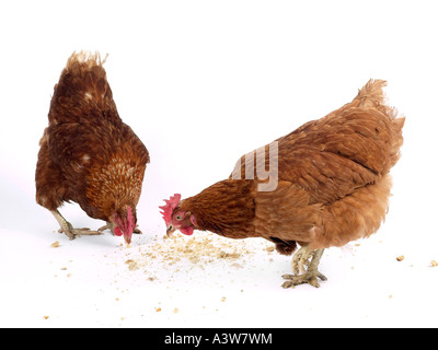 Two brown hens pecking at food. - Stock Photo