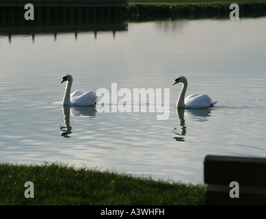 Two Mute Swans at early evening on the river great ouse - Stock Photo