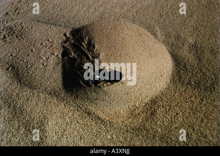 zoology / animals, insect, beetles, Dung Beetle, (Scarabaeus sacer), in sand, Sahara, Algeria, distribution: Southern - Stock Photo