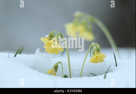 oxlip, primrose (Primula elatior), flowering in spring after late snowfall, Germany, Bavaria, Voralpenland - Stock Photo