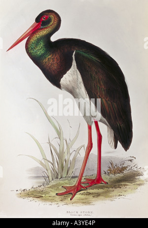 zoology / animal, avian / bird, ciconiidae, black stork, (ciconia nigra), colour lithograph, by Edward Lear, from - Stock Photo