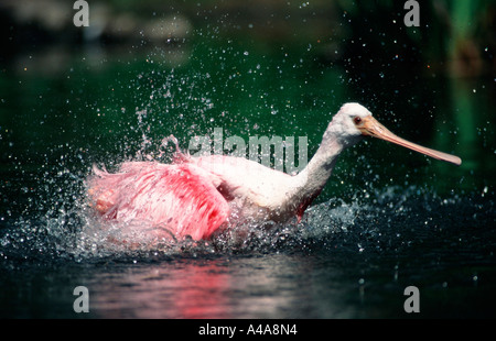 Roseate Spoonbill / Red Spoonbill - Stock Photo