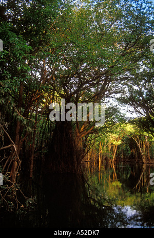 flora, jungle canopy, Ypiranga canal, arm of the Puraquequara River, Amazon River Basin, northeast of Manaus, Amazonas - Stock Photo