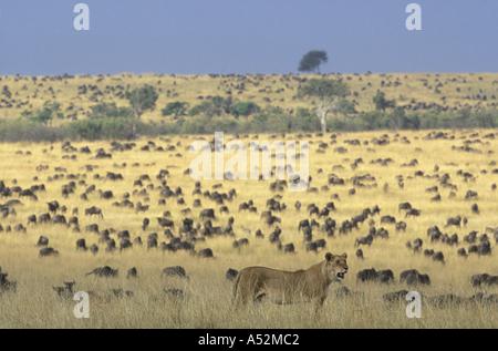 Africa Kenya Masai Mara Game Reserve Adult Female Lioness Panthera leo walks past vast Wildebeest herd on savanna - Stock Photo
