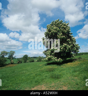 Horse chestnut Aesculus hippocastanum flowering tree in a Cotswolds field - Stock Photo