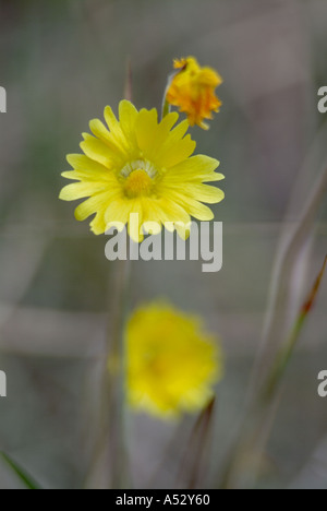 yellow butterwort Pinguicula lutea bladderwort family Threatened in Florida An insect eating plant carniverous flora - Stock Photo