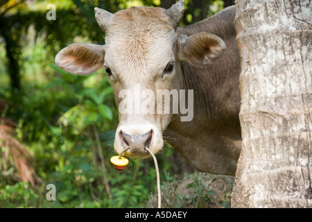 Cow Tethered, by the nose, farm, travel, cattle, agriculture. An Asian bovine farm animal secured by the nose, grazing - Stock Photo
