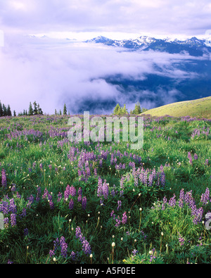 Summer lupine field Hurricane Ridge Olympic National Park Washington USA - Stock Photo
