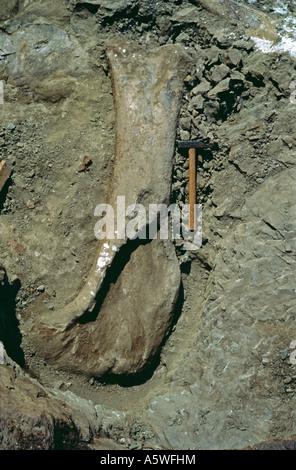 Sauropod excavation 1982 - Stock Photo