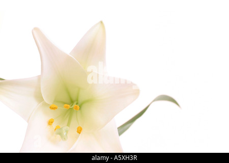 White lily against white background close up - Stock Photo