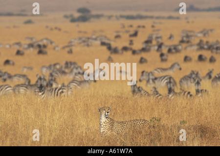 Africa Kenya Masai Mara Game Reserve Adult Female Cheetah Acinonyx jubatas walks past migrating herd of wildebeest - Stock Photo