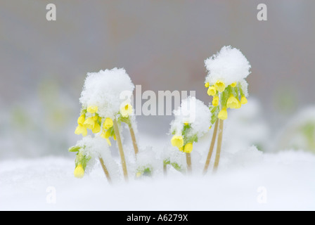Oxlip Primula Elatior standing in snow - Stock Photo