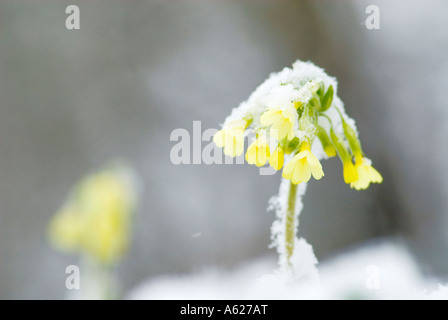 Oxlip Primula Elatior in snow - Stock Photo