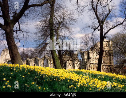 Daffodils in the Museum Gardens with the ruins of St Mary's Abbey in the background York North Yorkshire - Stock Photo