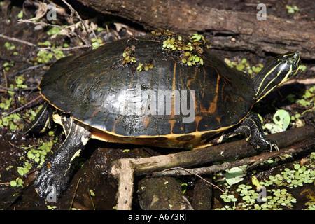 Florida Redbelly Turtle Southwest Florida - Stock Photo