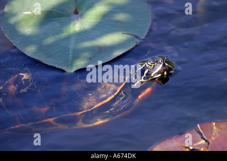 Florida Redbelly Turtle in water Everglades Florida - Stock Photo