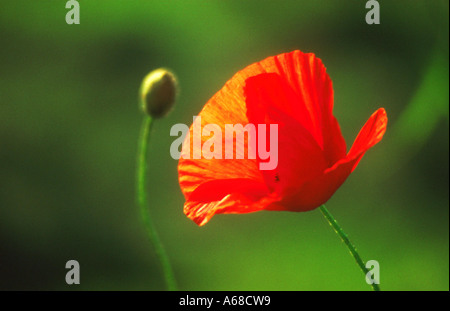 Single poppy and unopened bud against abstract blurry green background - Stock Photo