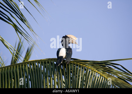 Black and white casqued hornbill Bycanistes subcylindricus in palm tree Mombasa Kenya - Stock Photo