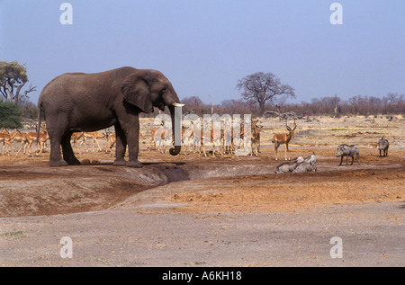 WARTHOGS IMPALAS wait for an ELEPHANT to finish drinking in the SAVUTI MARSH CHOBE NATIONAL PARK - Stock Photo