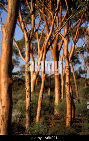 Salmon gums,near Kalgoorlie,  Goldfields Region,  Western Australia, Australia, vertical, Eucalyptus salmonophloia - Stock Photo