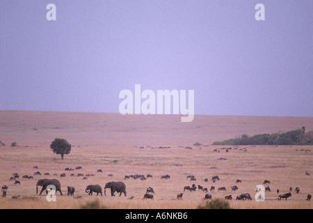 Africa Kenya Masai Mara Game Reserve Elephants Loxodonta africana walks through migrating Wildebeest herd at dawn - Stock Photo