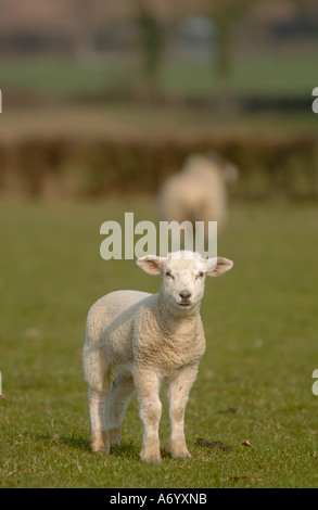 Lamb in a field - Stock Photo