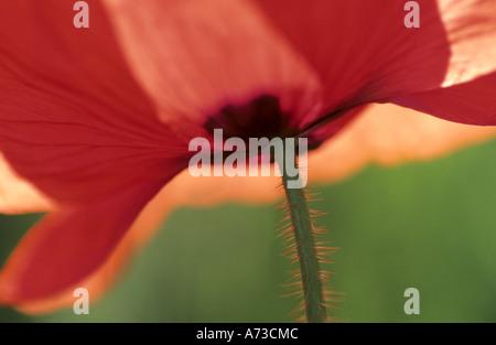 common poppy, corn poppy, red poppy (Papaver rhoeas), Detail of the flower, Germany, Baden-Wuerttemberg, Odenwald - Stock Photo