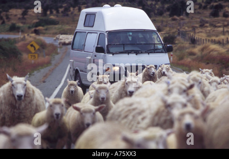 Flock of sheep blocking rural road holding up tourists in a camper van South Island New Zealand - Stock Photo