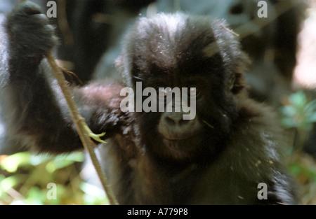 Portrait of a baby mountain gorilla (Gorilla berengei berengei) in a troop playing. - Stock Photo