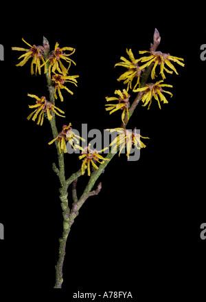 Hamamelis mollis Witch Hazel Flowers on Black Background - Stock Photo