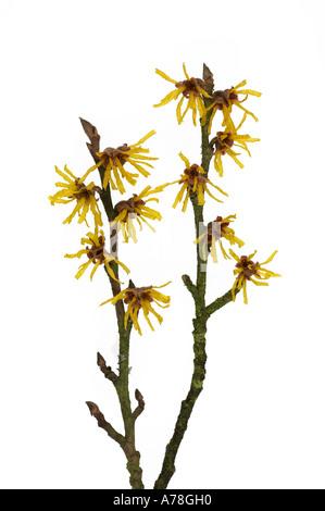 Hamamelis mollis Witch Hazel Flowers on White Background - Stock Photo