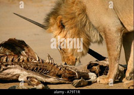 A young blonde maned male lion sniffing old gemsbok oryx carcass in the Kalahari desert - Stock Photo