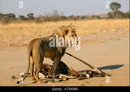 A young blonde maned male lion standing over an old gemsbok oryx carcass in the Kalahari desert - Stock Photo