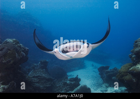 Manta Ray Manta birostris in feeding position as it scoops plankton, Goofnuw Channel, Yap, Micronesia, Pacific Ocean - Stock Photo