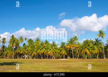 Coconut groove inside Tuherera village Tikehau atoll Tuamotu Islands French Polynesia - Stock Photo
