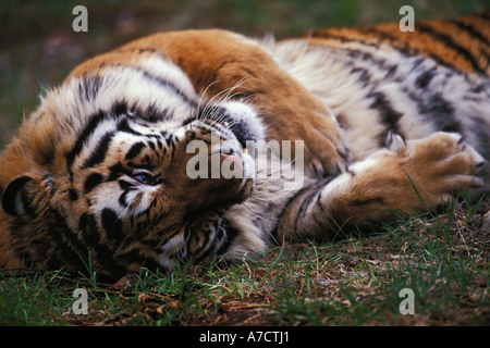 Siberian tiger Panthera tigris altaica relaxing on back laying on ground captive animal North America - Stock Photo