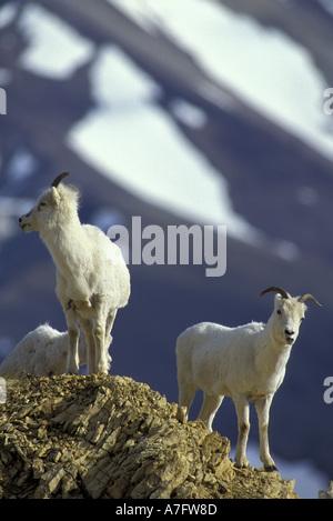North America, USA, Alaska, Denali NP, Polychrome Pass. Dall sheep on ridge - Stock Photo