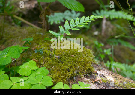 A young fern growing on a rotting log in woodland at Becky Falls Dartmoor National Park Devon Great Britain - Stock Photo