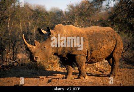 White rhinoceros Ceratotherium simum Hlane Royal National Park Swaziland - Stock Photo