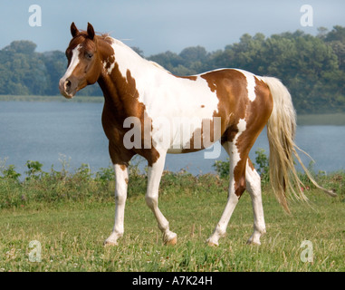Pinto Arabian horse gelding in paddock with lake water in background - Stock Photo