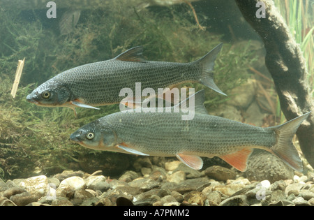 nase (Chondrostoma nasus), male and female, Germany, Bavaria - Stock Photo