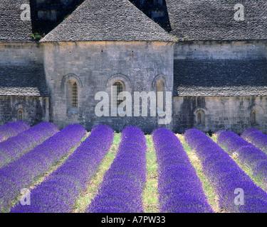 FR - PROVENCE: Abbaye de Senanque near Gordes - Stock Photo