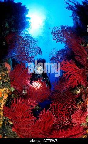 France, Corse du Sud, diver in a red Gorgonia forest, underwater view - Stock Photo