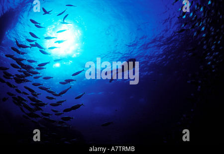 France, Corse du Sud, diver and fish in the big blue - Stock Photo