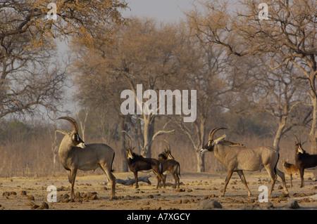 Roan (Hippotragus equinus) & Sable antelope. Makalolo Plains. Hwange National Park. ZIMBABWE. Southern Africa - Stock Photo