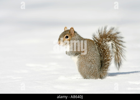 Eastern Gray Squirrel in Snow - Stock Photo