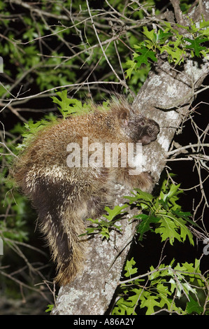 North American Porcupine Erethizon dorsatum adult climbing Texas Oak Quercus buckleyi Uvalde County Hill Country - Stock Photo
